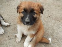 Collie Puppies for sale in Merrick, NY, USA. price: NA