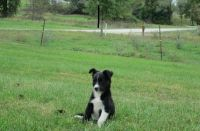 Collie Puppies for sale in Los Angeles, CA, USA. price: NA