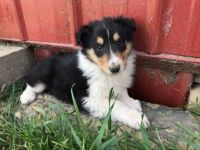 Collie Puppies for sale in Canton, OH, USA. price: NA