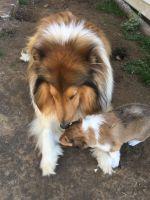 Collie Puppies Photos