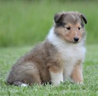 Collie Puppies for sale in Dover, DE, USA. price: NA