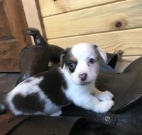 Collie Puppies for sale in Pittsburgh, PA 15255, USA. price: NA