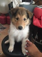 Collie Puppies for sale in Menifee, CA, USA. price: NA