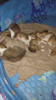 Collie Puppies for sale in Apple Valley, CA, USA. price: NA