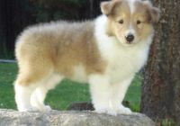 Collie Puppies for sale in Adams St, Boston, MA, USA. price: NA