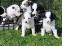Collie Puppies for sale in Oklahoma City, OK, USA. price: NA