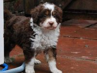 Collie Puppies for sale in New York, NY, USA. price: NA