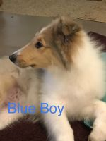 Collie Puppies for sale in Westminster, SC 29693, USA. price: NA