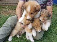 Collie Puppies for sale in Las Vegas, NV, USA. price: NA