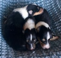 Collie Puppies for sale in Wilmington, IL 60481, USA. price: NA