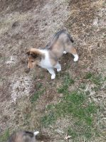 Collie Puppies for sale in East Rutherford, NJ, USA. price: NA