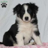 Collie Puppies for sale in Canal Winchester South Rd, Canal Winchester, OH 43110, USA. price: NA