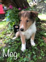 Collie Puppies for sale in Pittston, PA, USA. price: NA
