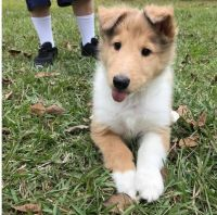 Collie Puppies for sale in Boston, MA 02114, USA. price: NA