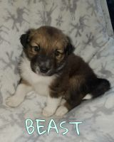 Collie Puppies for sale in Louisville, OH 44641, USA. price: NA