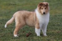 Collie Puppies for sale in Danville, PA 17821, USA. price: NA