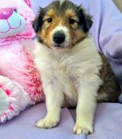 Collie Puppies for sale in Nashville, TN 37219, USA. price: NA