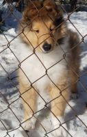 Collie Puppies for sale in Hartford, CT 06104, USA. price: NA