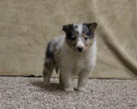 Collie Puppies for sale in Grovespring, MO 65662, USA. price: NA