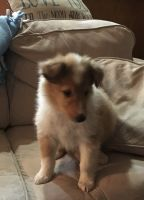 Collie Puppies for sale in Chisago City, MN, USA. price: NA