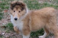 Collie Puppies for sale in Ashburn, VA, USA. price: NA