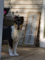 Collie Puppies for sale in Allendale Charter Twp, MI, USA. price: NA