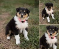 Collie Puppies for sale in 67 Fawn Ave, New Oxford, PA 17350, USA. price: NA