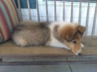 Collie Puppies for sale in Guilford, IN 47022, USA. price: NA
