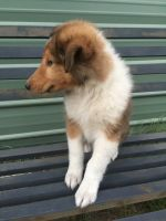 Collie Puppies for sale in Dunnellon, FL, USA. price: NA