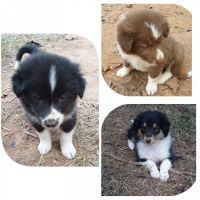 Collie Puppies for sale in Charlotte Court House, VA 23923, USA. price: NA