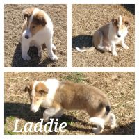 Collie Puppies for sale in Newberry, SC 29108, USA. price: NA