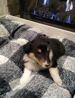 Collie Puppies for sale in Coshocton, OH 43812, USA. price: NA