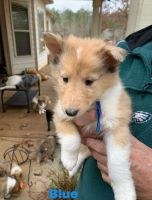 Collie Puppies for sale in LaGrange, GA, USA. price: NA