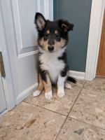 Collie Puppies for sale in Omaha, NE, USA. price: NA