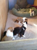 Collie Puppies for sale in Bowling Green, OH, USA. price: NA