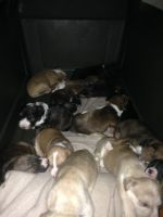Collie Puppies for sale in Akron, OH, USA. price: NA