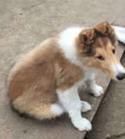 Collie Puppies for sale in Raton, NM 87740, USA. price: NA
