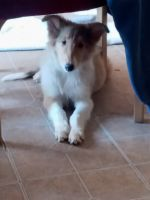 Collie Puppies for sale in Salt Flat, TX 79847, USA. price: NA