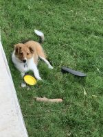 Collie Puppies for sale in Pflugerville, TX, USA. price: NA