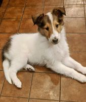 Collie Puppies for sale in Pittsburgh, PA, USA. price: NA