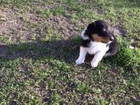 Collie Puppies for sale in Denham Springs, LA, USA. price: NA