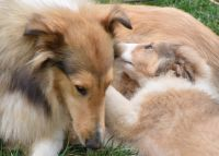 Collie Puppies for sale in Manalapan Township, NJ, USA. price: NA