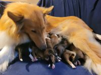 Collie Puppies for sale in Metamora, MI 48455, USA. price: NA