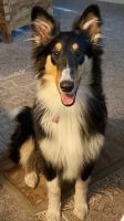 Collie Puppies for sale in Norman, OK, USA. price: NA