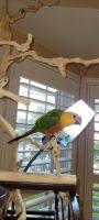 Conure Birds for sale in Haymarket, VA 20169, USA. price: NA
