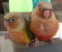 Conure Birds for sale in Odessa, TX, USA. price: NA