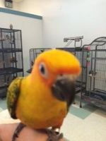 Conure Birds for sale in Hampstead, MD 21074, USA. price: NA