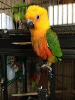 Conure Birds for sale in Oceanside, CA, USA. price: NA