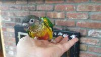 Conure Birds for sale in New York, NY, USA. price: NA
