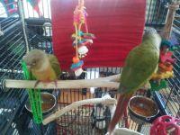 Conure Birds for sale in Fitchburg, MA 01420, USA. price: NA
